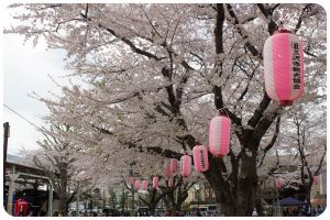 Cherry Blossoms 7 by moofestgirl