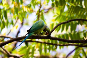 Ring-necked parakeet by Fotograpfie