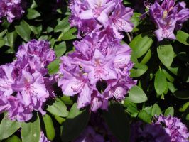 Rhododendron augustinii by JollyStock