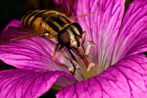hoverfly eating by YvdlArt