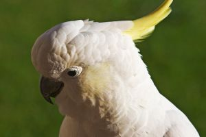 Sulphur Crested Cockatoo 175 by chezem
