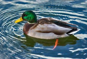 Duck 06 by NellyGrace3103