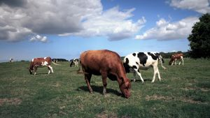 Cows HDR by Danimatie