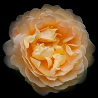 Yellow Rose by Grovelight