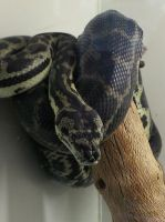 Carpet Python by Roses-and-Feathers