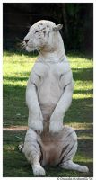 White Tiger: Sitting up by TVD-Photography