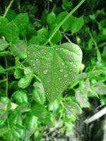 Green Leaf II by looking-for-hope