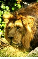Asiatic Lion by In-the-picture