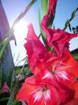 Sunny red Flowes by Melrainbow