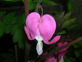 Bleeding Heart by RussAxford