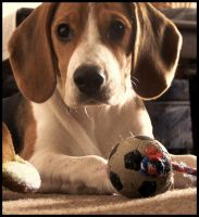 Beagle by vycurat