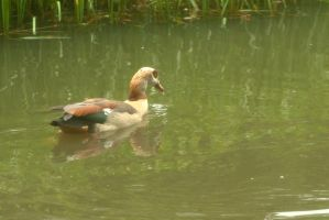 Egyptian goose by steppelandstock