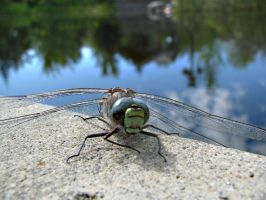 Dragonfly. by KimberleePhotography