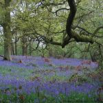 Bluebell Woods by birchley