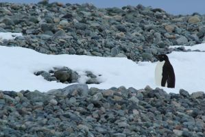 Adelie penguin by CAStock