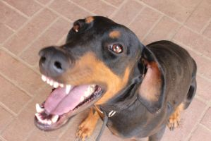 Smiling Doberman by HaleyCharlotte