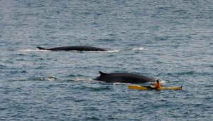 Fin whales by PasoLibre