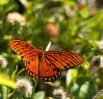Gulf Fritilliary I by Squirrelflight-77