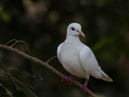 The Peace Dove by InayatShah