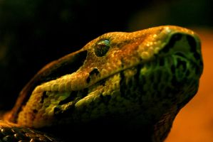 Boa Constrictor - Close Up by Shadow-and-Flame-86