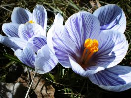 Spring crocus II by Xercatos