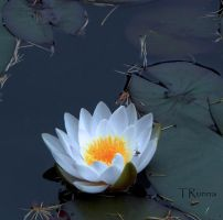 Water Lily with Spider by TRunna