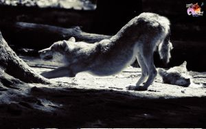 Free Wolves 7 by pixbird