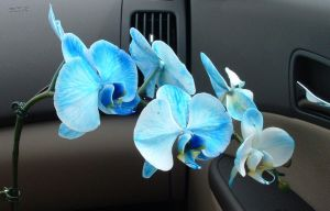 Blue Orchids by richair