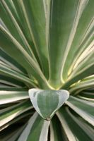 varigated agave by philichino