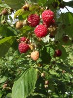 raspberries by Caltha-stock