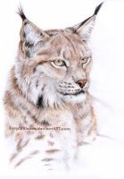 Lynx portrait by Alassa