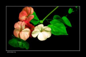 Geranium by newcastlemale
