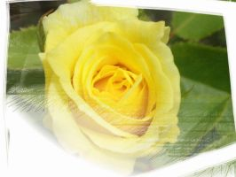 Yellow Rose by Tielle