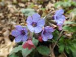 Common lungwort (Pulmonaria officinalis) by mossagateturtle