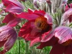 red pasque flower by LunaFee