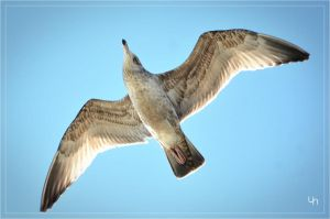 Young Seagull by hmdll