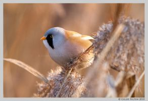 Bearded Tit by Swordtemper