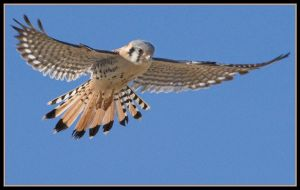 Hunting kestrel by JAHarrell