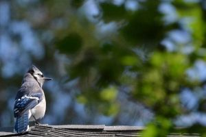 Blue Jay 4 by Noble-Kenshi
