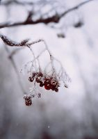 Berries in winter. 3 by Alhor-Ern