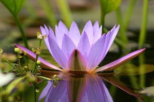 Water Lily Photo 2 by blookz