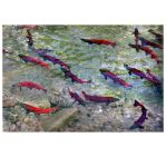 Kokanee Spawning by zasu