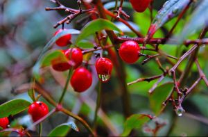 Berries, HDR by mycarisfaster