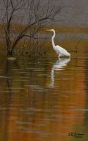 Egret orange reflection by DGAnder