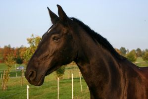 Black Horse Portrait Evening Light by LuDa-Stock