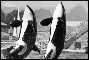 Orcas 2 by vinc-photography