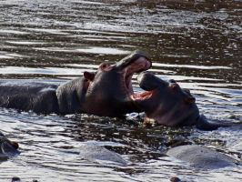 Baby Hippo Fight by Track-Maidens