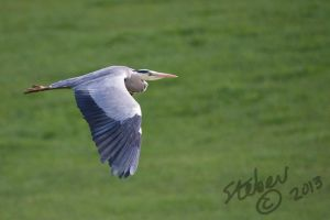 Heron In Flight by stebev