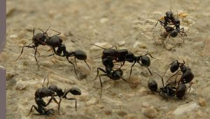 Ant Fight by zois-life