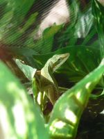 Adha The green Anole by EumyCookie